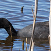 Red-knobbed Coot (Bleshoender)