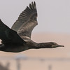Bank Cormorant (Bankkormorant)