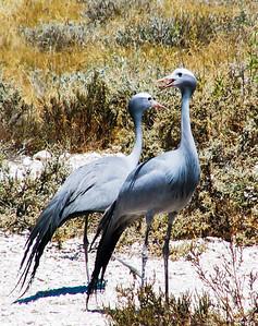 Blue Crane (Bloukraanvoël)