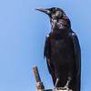 Cape Crow (Swartkraai)