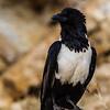 Pied Crow (Witborskraai)