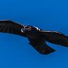 White-necked Raven (Withalskraai)