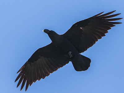 White-necked Raven (Withalskraai)
