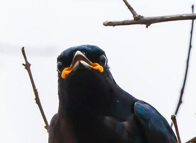 Black Cuckooshrike (M) (Swartkatakoeroe)