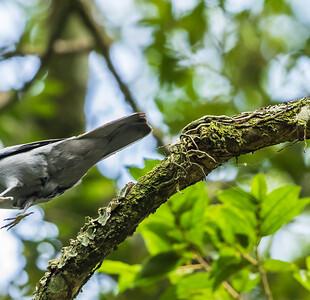 Grey Cuckooshrike (Bloukatakoeroe)