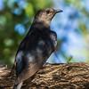 Black Cuckoo (Swartkoekoek)
