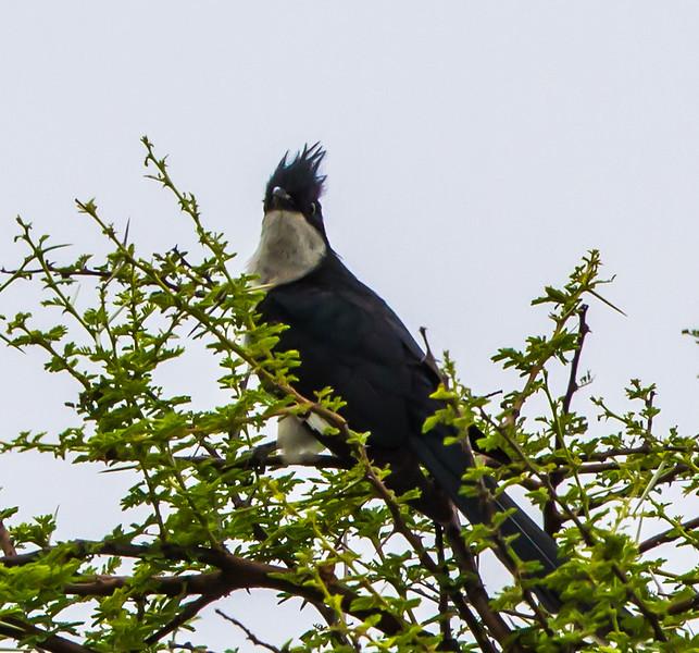 Jacobin Cuckoo (Bontnuwejaarsvoël
