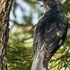 Levaillant's Cuckoo (Gestreepte nuwejaarsvoël)