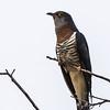 Red-chested Cuckoo (Piet-my-vrou)