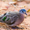 Emerald-spotted Wood Dove (Groenvlekduifie)