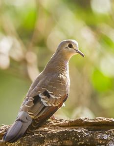 Emerald-spotted Wood Dove (Imm) (Groenvlekduifie)
