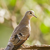 Emerald-spotted Wood Dove (Imm) (Groenvlekduifie)