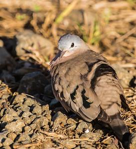 Emerald-spotted Wood Dove (Groenvlekduifie)