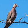 Red-eyed Dove (Grootringduif)