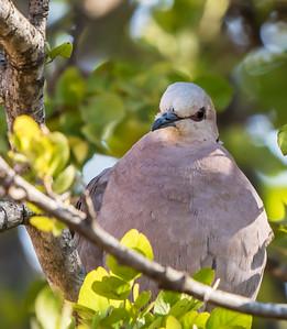 Red-eyed Dove (Grootringduif)