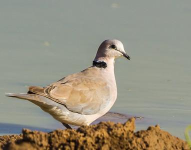 Ring-necked Dove (Gewone Tortelduif)
