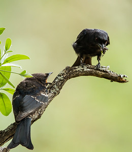 Forked-tail Drongo (Ad, Imm) (Mikstertbyevanger)