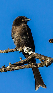 Forked-tail Drongo (Imm) (Mikstertbyevanger)