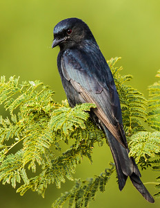 Forked-tail Drongo (Mikstertbyevanger)