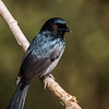 Square-tailed Drongo (Klein Byevanger)