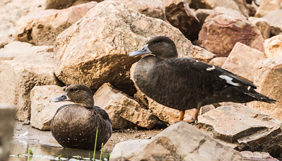 African Black Duck (Swarteend)