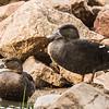 African Black Duck (Swarteend)