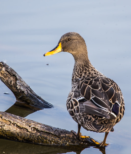 Yellow-billed Duck (Geelbekeend)