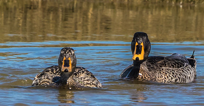 Yellow-billed Duck (M, F) (Geelbekeend)