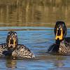 Yellow-billed Duck (M, F) (Geelbekeend)