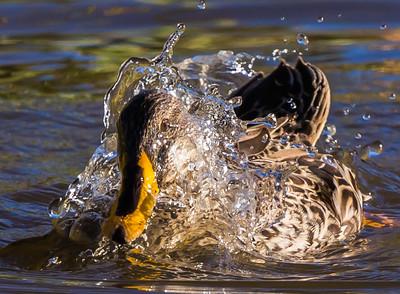 Yellow-billed Duck (Geelbekeend)