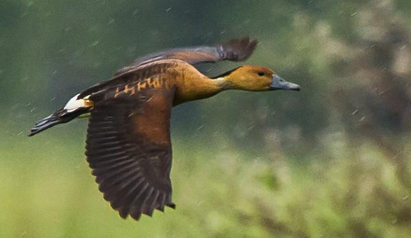 Fulvous Whistling Duck (Fluiteend)