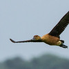 Fulvous Whistling Duck (Fluiteend)