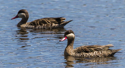 Red-billed Teal (Rooibekeend)