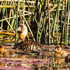 White-backed Duck (Ad, Imm) (Witrugeend)