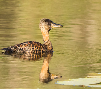 White-backed Duck (Witrugeend)