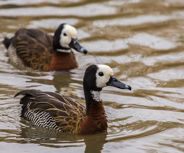 White-faced Whistling Duck (Nonnetjie-eend)