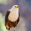 African Fish-Eagle (Visarend)