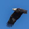 African Fish-Eagle (Imm) (Visarend)