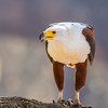 African Fish-Eagle (Visarend)