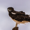 Black-chested Snake-eagle (Swartborsslangarend)