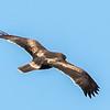 Booted Eagle (dark morph) (Dwergarend)
