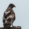 Brown Snake Eagle (Imm) (Bruinslangarend)