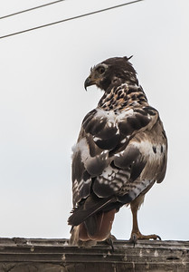 Brown Snake Eagle (Imm) (Bruinslangarend)