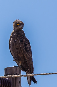 Brown Snake Eagle (Bruinslangarend)
