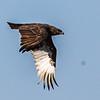 Brown Snake Eagle (Bruinslangarend)