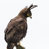 Long-crested Eagle (Langkuifarend)