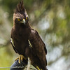 Long-crested Eagle (Langkuifarend)