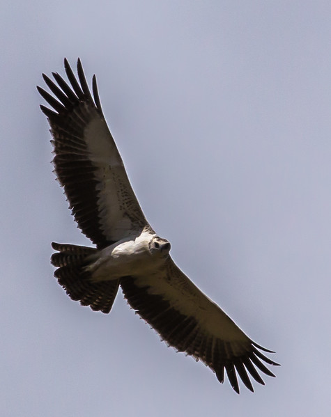Martial Eagle (Imm) (Breëkoparend)