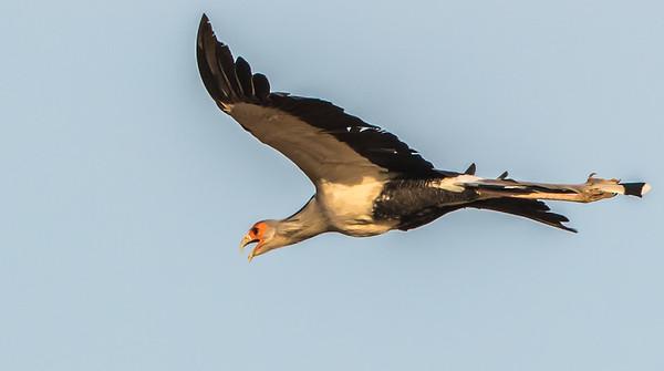 Secretary Bird (Sekretarisvoël)