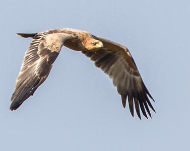 Tawny Eagle (Roofarend)